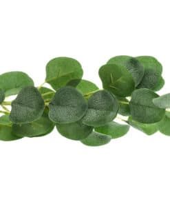 feuilles eucalyptus